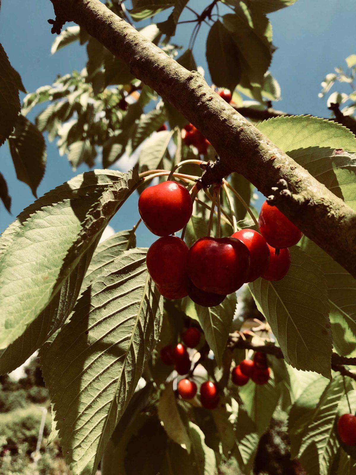 Kirschen Kirschbaum Kirschkuchen Natur Garten